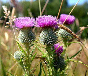 National Flower of Scotland